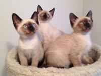 Just 3 adorable Siamese kittens left from a litter of