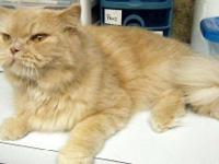 Siamese - Simba - Medium - Adult - Male - Cat I am