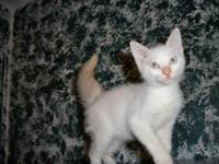 Siamese - Simba - Medium - Baby - Male - Cat Simba is a