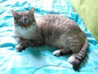 Siamese - Snowflake - Medium - Young - Female - Cat We