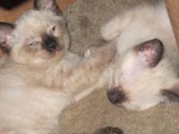 6 SnowShoe Siamese kittens - 11 weeks old now 9/23/15