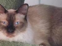 Siamese - Spicer - Medium - Adult - Male - Cat A sweet