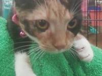 Siamese - Sushi - Medium - Young - Female - Cat