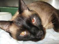 Siamese - Terrance - Large - Adult - Male - Cat