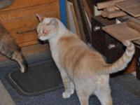 Siamese - Thomas - Large - Adult - Male - Cat