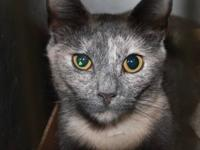 Siamese - Tiggie - Medium - Adult - Female - Cat Tiggie