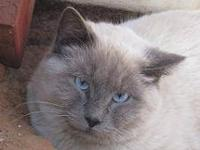 Siamese - Toby - Medium - Young - Male - Cat He is a