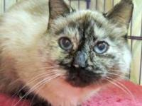 Siamese - Tootsey - Large - Adult - Female - Cat