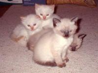 SIAMESE TRADITIONAL Kittens available. Born April