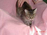 Siamese - Tupence* (fostered In Novi) - Large - Adult -
