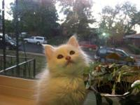 We have 5 Turkish angora / Siamese cross kittens left!