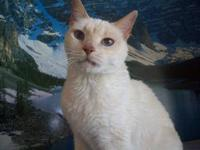 Siamese - Whitey - Medium - Senior - Female - Cat I am