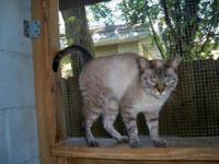 Siamese - Duchess - Medium - Adult - Female - Cat