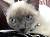 Looking to rehome my pure bred Siamese kitten. Rehoming