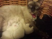 Siamese kittens almost ready to go If you intrested