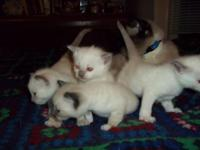 http://greytorcattery.weebly.com/ 3/4 bred Siamese
