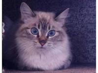 Siamese - Mooshoo - Small - Young - Female - Cat To