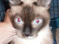 Siamese - Sasha - Medium - Young - Female - Cat
