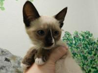 Siamese - Susan - Medium - Young - Female - Cat