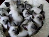 I have an adorable litter of siamesse kittens for sale.