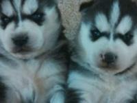Male husky beautiful blue eyes shots deworm up to date