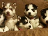 We have 6 Female Husky young puppies for sale. They are