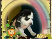 Hi. I have 6 beautiful S/Husky Puppies  for