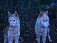 2 male siberian huskies. Father & son. Will not