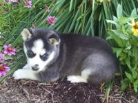 We have 5 husky puppies for sale. Parents are AKC