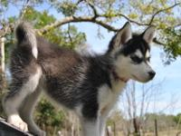 Siberian Husky (4 Males & 1 Female) {Current on