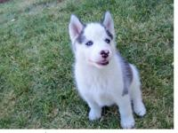 Hello I am looking to re-home my Siberian husky. I