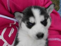 3 Siberian Huskies Puppies Ready 2nd Week In march
