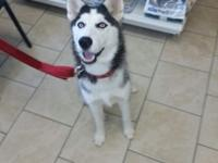She is an incredible siberian husky who's name is ELSA