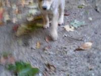 Two female Siberian husky/Alaskan malamute pups born