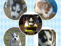 I have 5 male Siberian husky puppies. They are ready