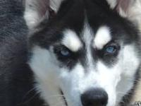 I have a beautiful female husky born in 1/20/12 Black