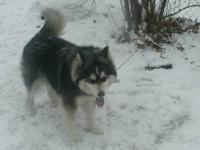 Loba,1Beautiful Siberian husky 11 months old ready to