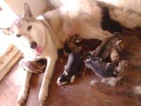Only 2 males available Siberian Husky puppies. The