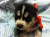 ACA signed up Siberian husky with blue eyes. Born