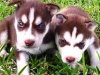 Siberian Husky Puppy's we have 7 available blue eyes