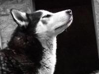 My Male Siberian Husky is four years old he is noble