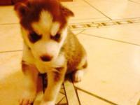 We have Siberian Husky Puppies born 5-9-15 parent