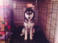 Beautiful 6.5 mnth old black and white Husky, full