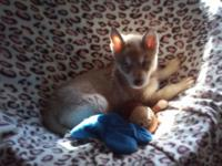 Beautiful Siberian Husky puppies parents are AKC