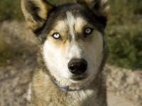 Siberian Husky - Atticus - Large - Adult - Male - Dog