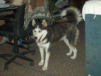 Siberian Husky - Azami - Large - Young - Female - Dog