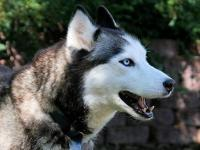 Siberian Husky - Balto - Medium - Adult - Female - Dog
