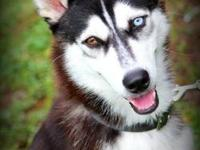 Siberian Husky - Bandit - Medium - Young - Male - Dog