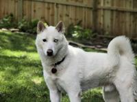 Siberian Husky - Banjo - Medium - Adult - Male - Dog