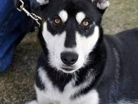 Siberian Husky - Blaze - Medium - Young - Male - Dog If